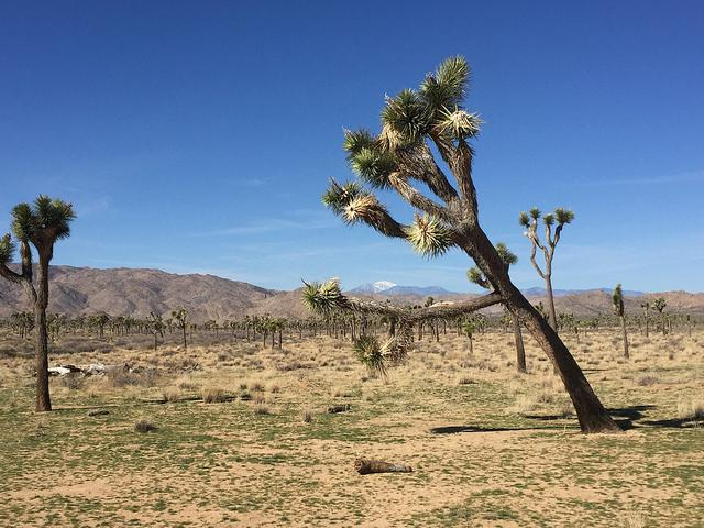 A+common+sight+in+Joshua+Tree+National+Park.