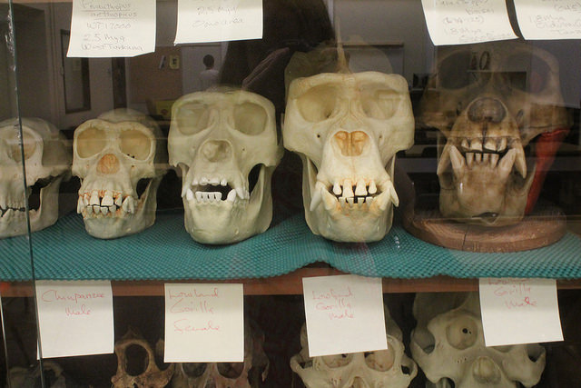 Casts of hominid skulls on display in the anthropology department
