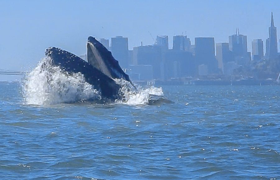 A+humpback+whale+lunge-feeds+in+San+Francisco+Bay%2C+July+10%2C+2016+