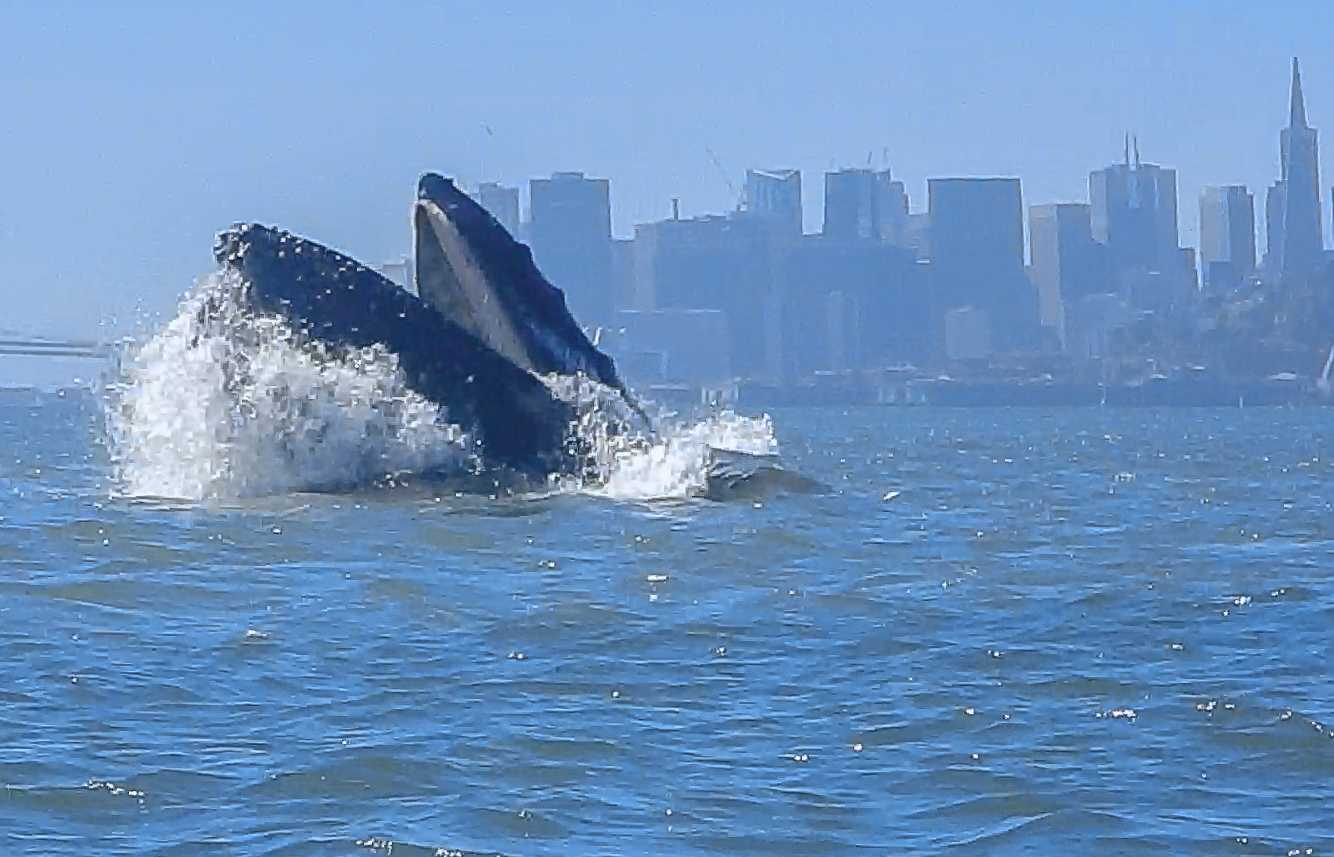 A humpback whale lunge-feeds in San Francisco Bay, July 10, 2016