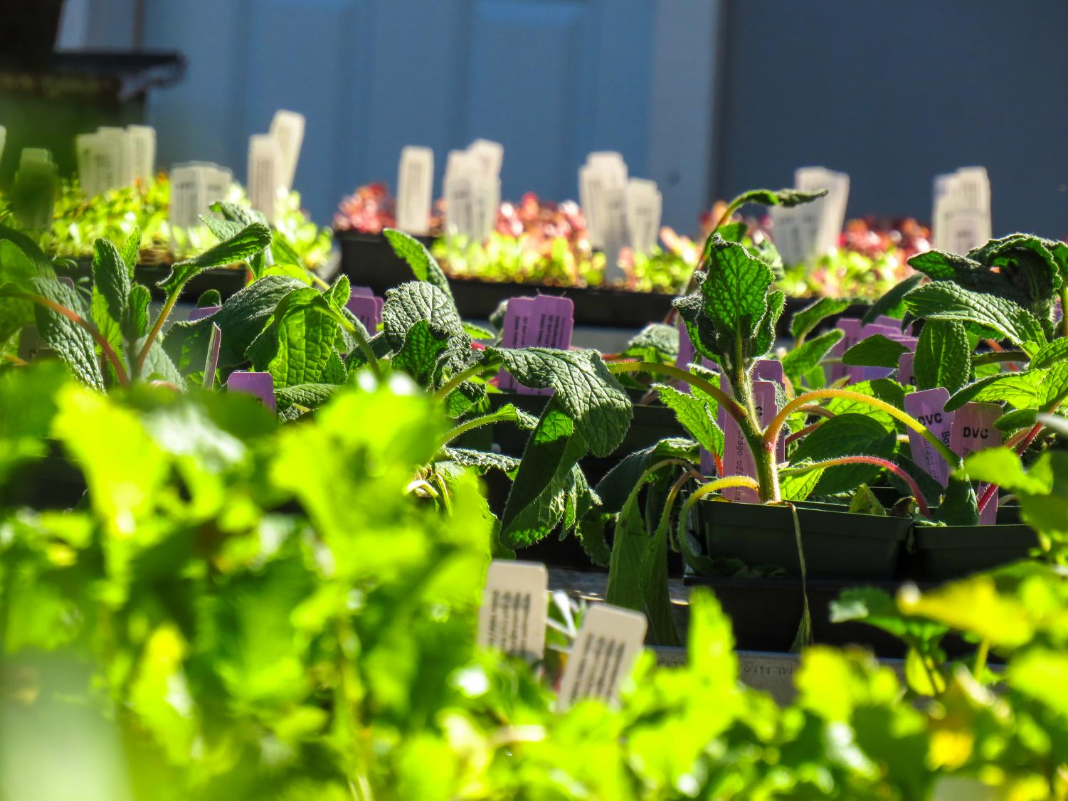 The horticulture department selling plants at a Plant Sale  which took place February 22-23 at Diablo Valley College. (Pavlina MarkovaThe Inquirer).