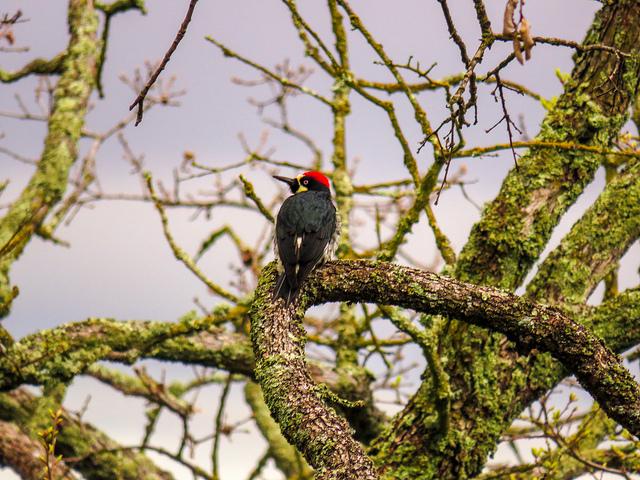 An+acorn+woodpecker+on+the+Nature+Trail+in+John+Muir+Land+Trust.+%28Pavlina+Markova%2FThe+Inquirer%29.
