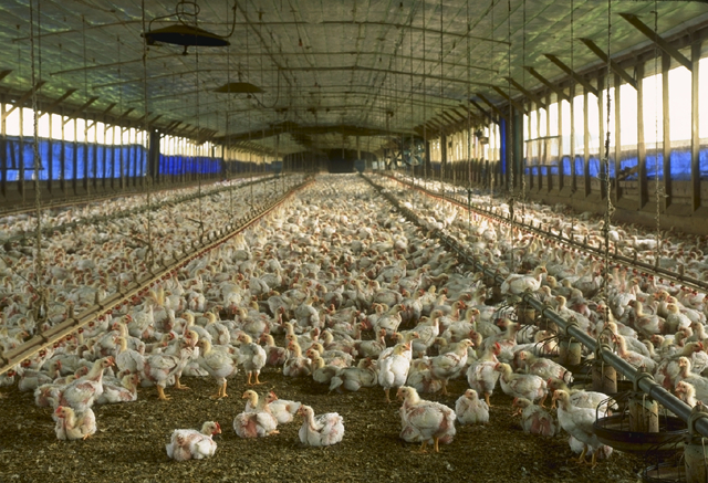 Hens+only+lay+eggs+for+around+two+years+before+they+are+slaughtered+to+maximize+efficiency.+%28Photo+courtesy+of+Larry+Rana%29